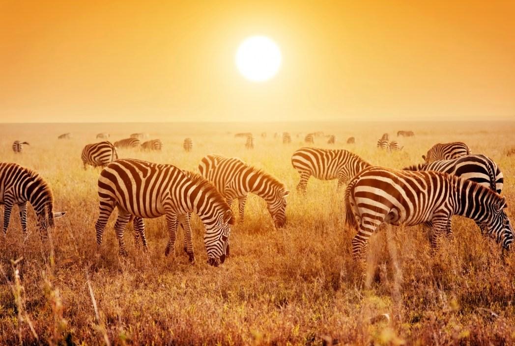 Safari in Africa - zebre al tramonto