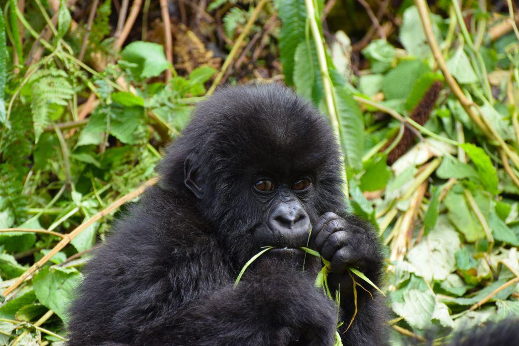Safari in Africa - cucciolo di gorilla