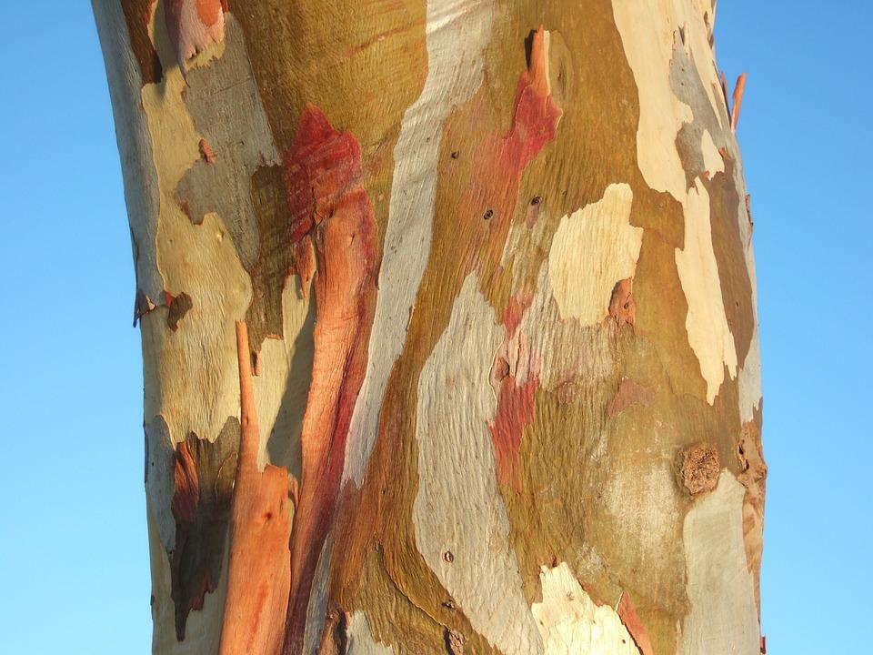 corteccia colorata degli eucalipti